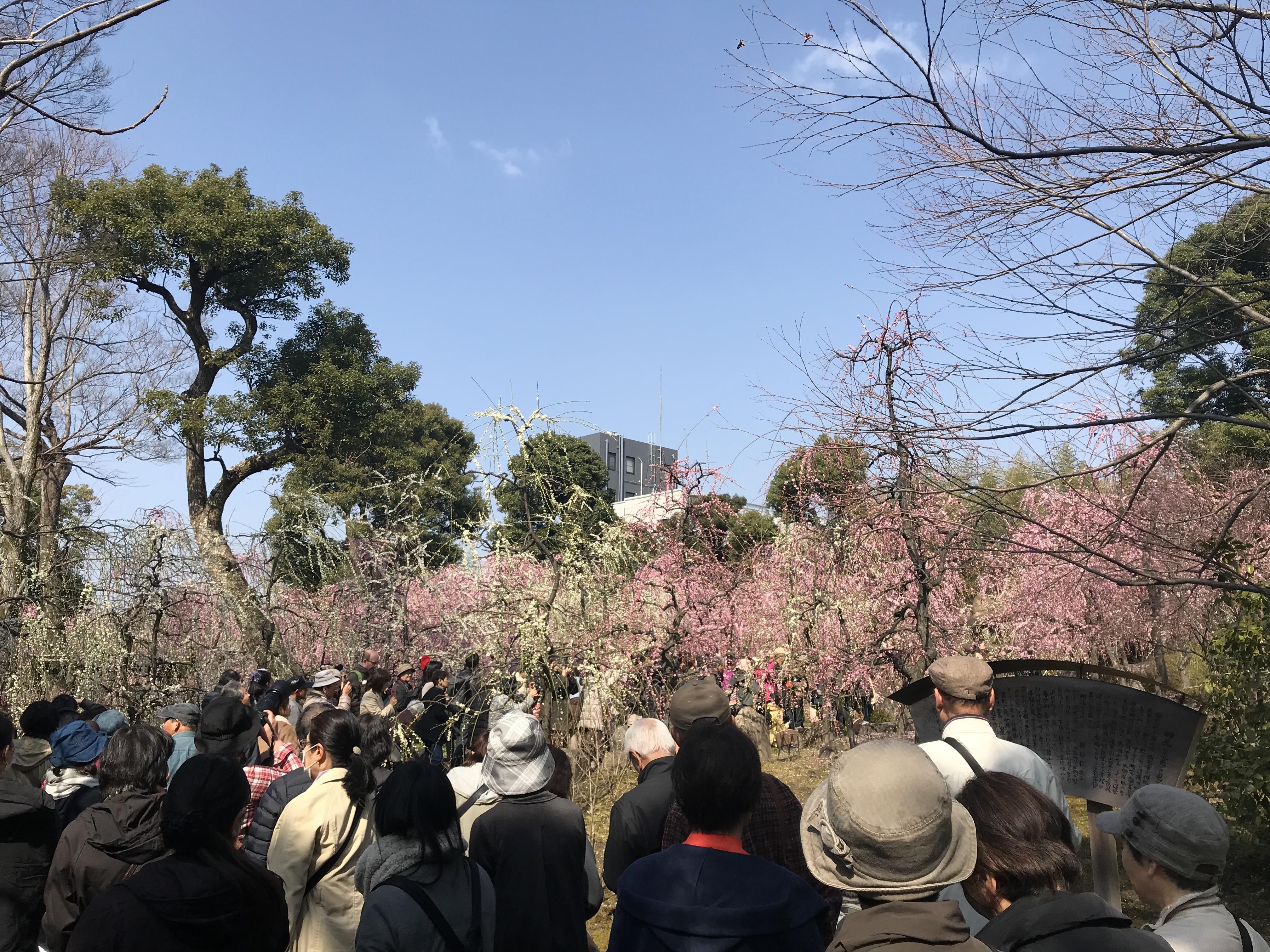 Japaner, die auf Pflaumenbäume starren