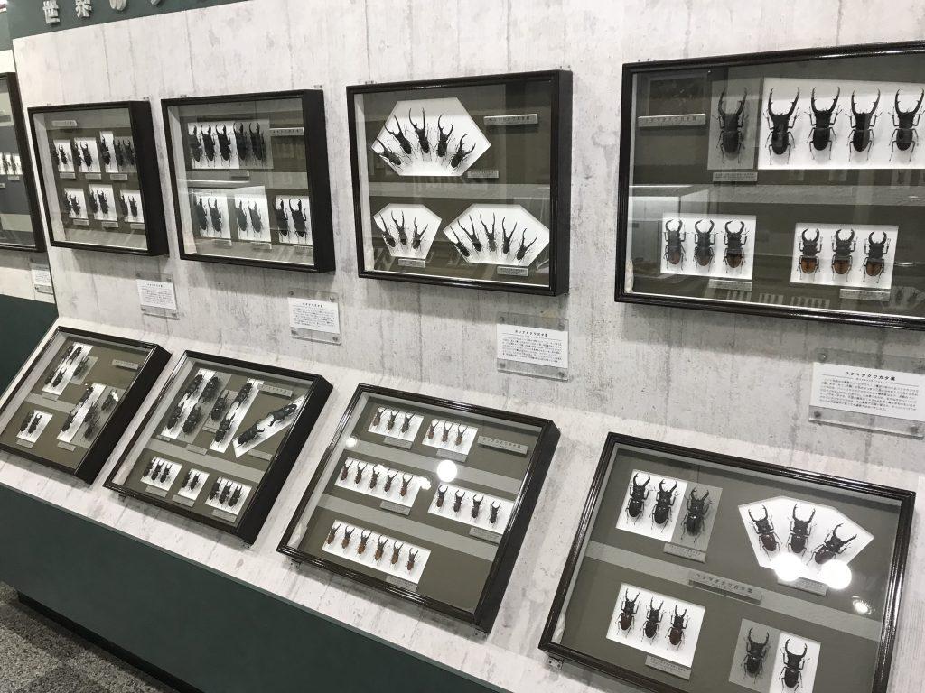 Hirschkäfer im Insektenmuseum