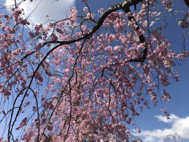 Kirschblüte Heian Jingu Schrein Kyoto