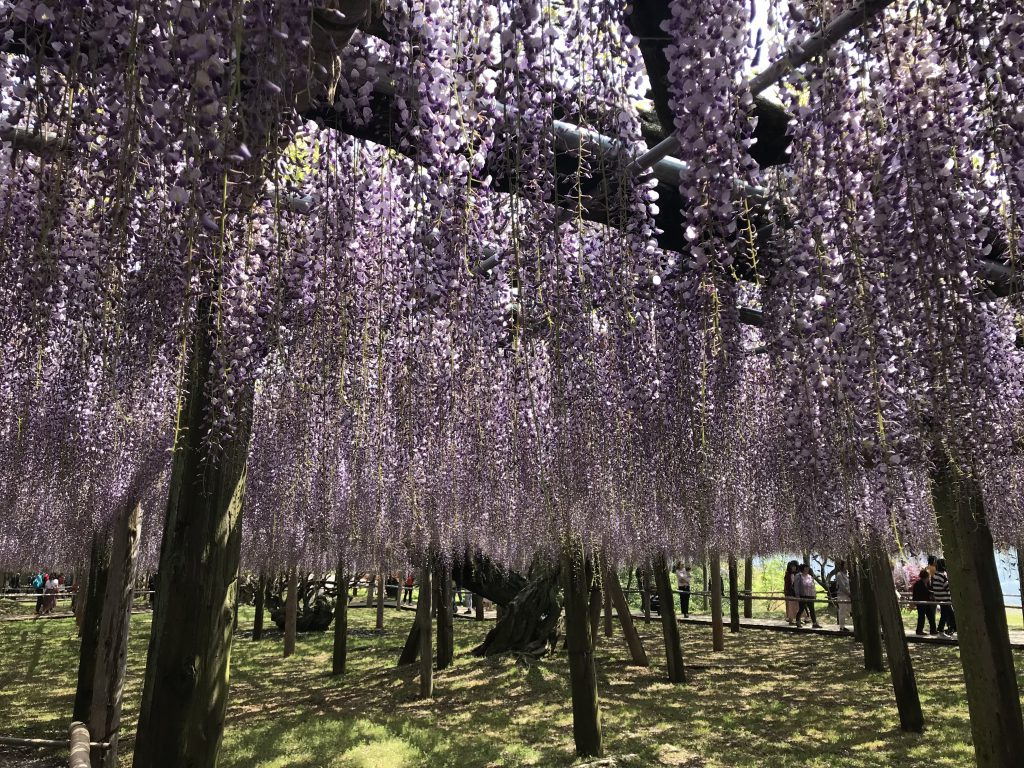Kawachi Wisteria Garten